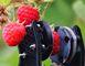 Создан робот, профессионально собирающий ягоды